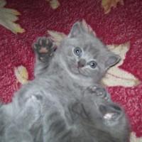 Продам британских плюшевых котят