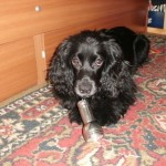 Наша собака  конкурсантка : Джета
